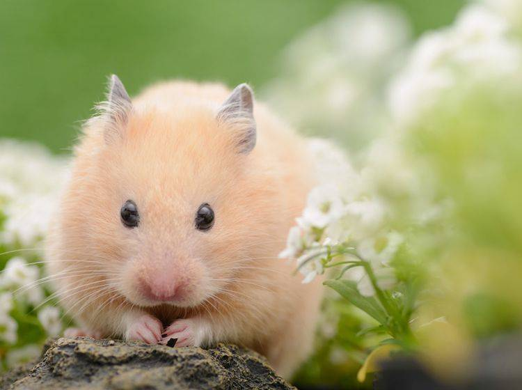 Hamster haben zwar nur eine geringe Lebenserwartung, bereiten ihren Haltern aber viel Freude –Shutterstock/stock_shot