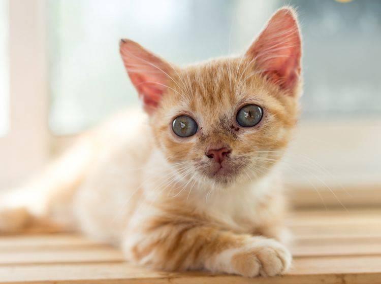 Junge Katzen sind anfällig für Giardien – Gewichtsverlust und Durchfall sind Anzeichen für die Parasitenerkrankung – Shutterstock / Naratiwat