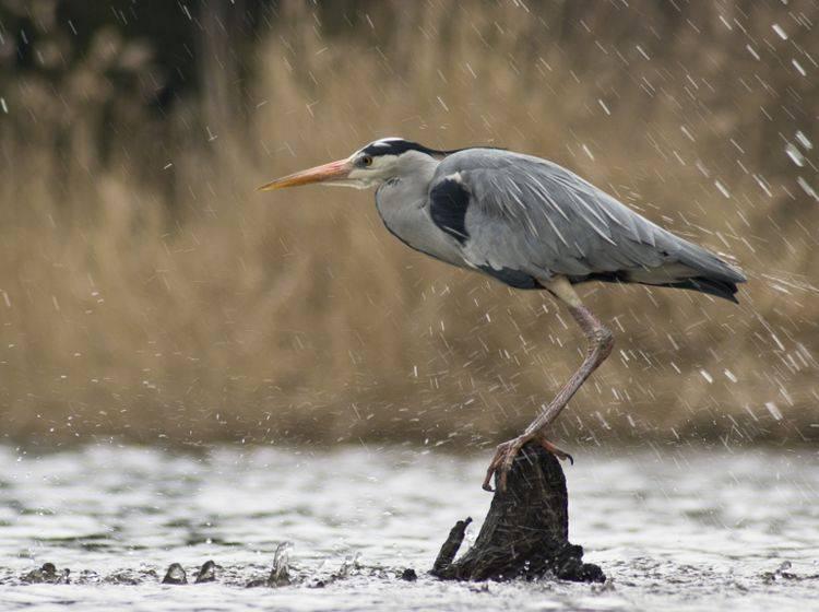 """""""Oha! Da zieht Gewitter auf, ich muss mir Schutz suchen"""", denkt sich dieser Graureiher und startet – Shutterstock / Pavel Mikoska"""