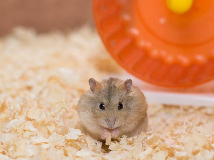 Ob ein Hamster sich wohlfühlt oder nicht, ist vor allem an der Körpersprache zu erkennen – Shutterstock / AtiwatPhotography
