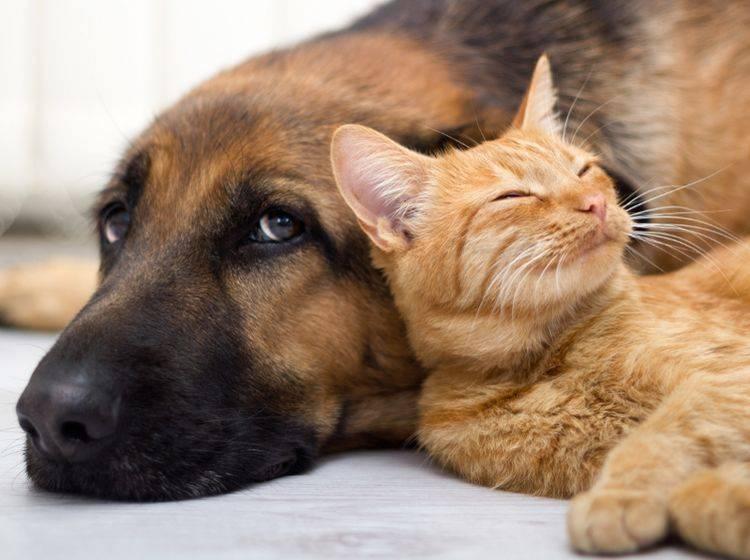 Katzen (Platz 1) und Hunde (Platz 2) sind weiterhin die beliebtesten Haustiere der Deutschen – Shutterstock / VP Photo Studio
