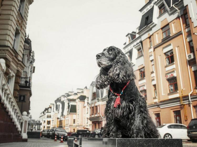 Stadt und Hund – nicht immer einfach, aber mit ein bisschen Übung gut machbar – Shutterstock / OlgaOvcharenko