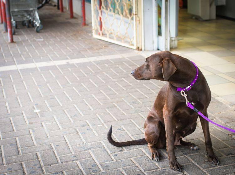 Für viele Vierbeiner ist das Warten vor dem Supermarkt eine wahre Tortur – Shutterstock / locrifa