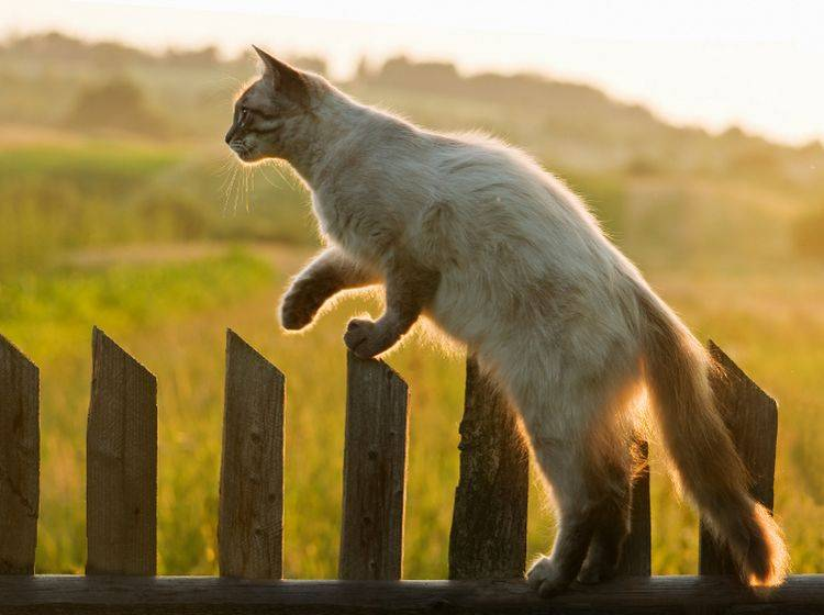 Katzen sind hervorragende Flucht- und Kletterkünstler; normale Gartenzäune sind für sie kein Hindernis – Shutterstock / Smit