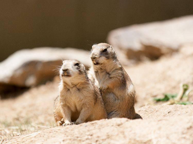 Am wohlsten fühlen sich Präriehunde in der freien Natur beziehungsweise in den Prärien Nordamerikas – Shutterstock / Anna Levan