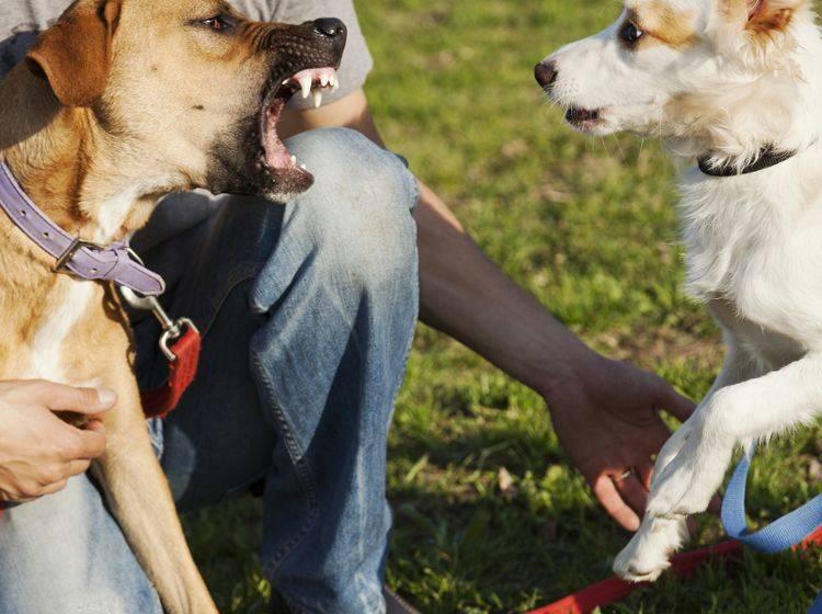 Hunde machen die Rangordnung untereinander selbst aus – wir Hundehalter sollten diese akzeptieren – Shutterstock / elbud
