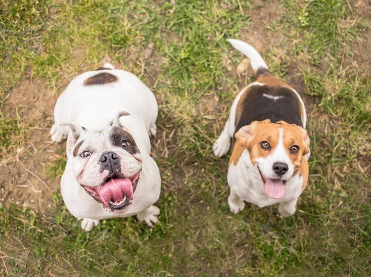 Die Englische Bulldogge und der Beagle warten auf ihre Belohnung. Ob sie wohl ein Lob oder ein Leckerli bevorzugen? – Shutterstock / Lunja