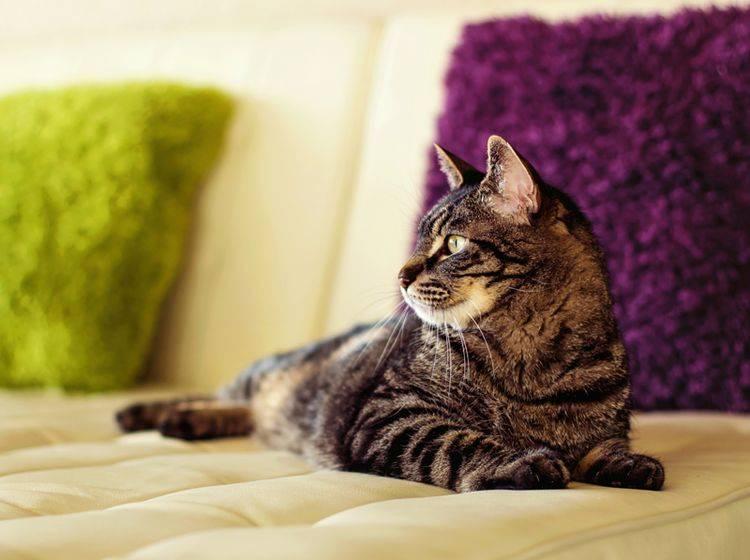 Mit den richtigen Medikamenten und etwas Ruhe kann eine herzkranke Katze ganz normal leben – Shutterstock / Tanya Little