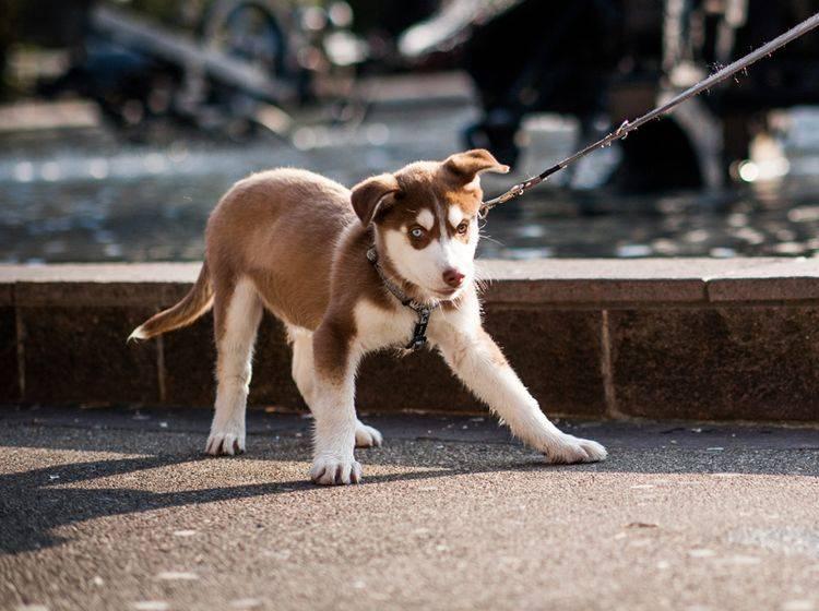 """""""Och Manno, ich möchte aber noch ein bisschen hierbleiben"""", scheint dieser junge Husky zu denken. Ist er deswegen stur? – Shutterstock / Cher KFM"""