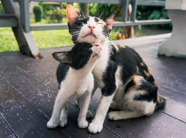 Eine Katzenmutter schmust mit ihrem Kätzchen – Shutterstock / AfriramPOE