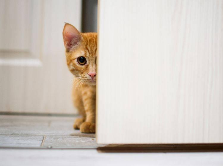"""""""Ui, ist das spannend! Was sich wohl hinter der Tür befindet?"""": Neugierige Katze will ausbrechen – Shutterstock / Noskov Vladimir"""