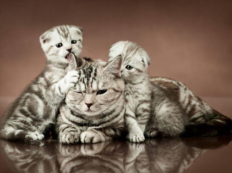 Die liebe Katzenmami lässt sich von ihrem süßen Nachwuchs fast alles gefallen – Shutterstock / tankist276