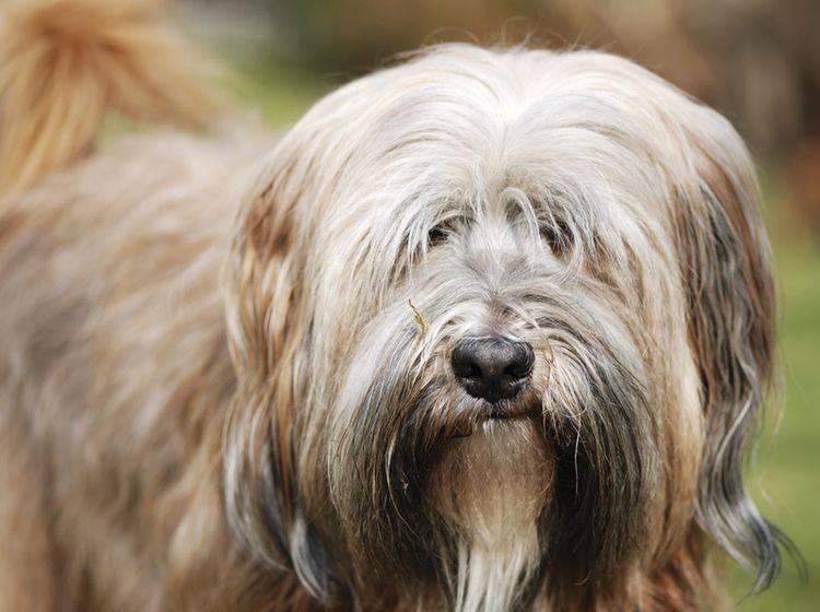 """Der süße fellige Tibet Terrier benötigt sein Haarkleid als """"Klimaanlage"""", um fit zu bleiben – Shutterstock Manfredxy"""