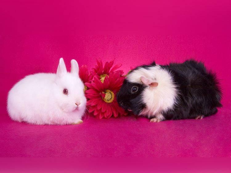 Kaninchen oder Meerschweinchen? Das ist hier die Frage ... – Shutterstock / Robynrg
