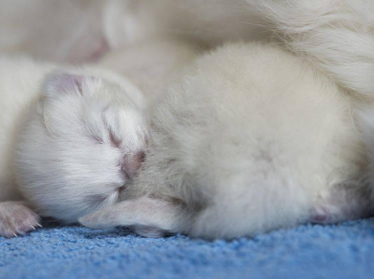 Diese winzigkleine Baby-Ragdoll-Katze fühlt sich bei ihrer Mama wohl und geborgen – Shutterstock / cath5