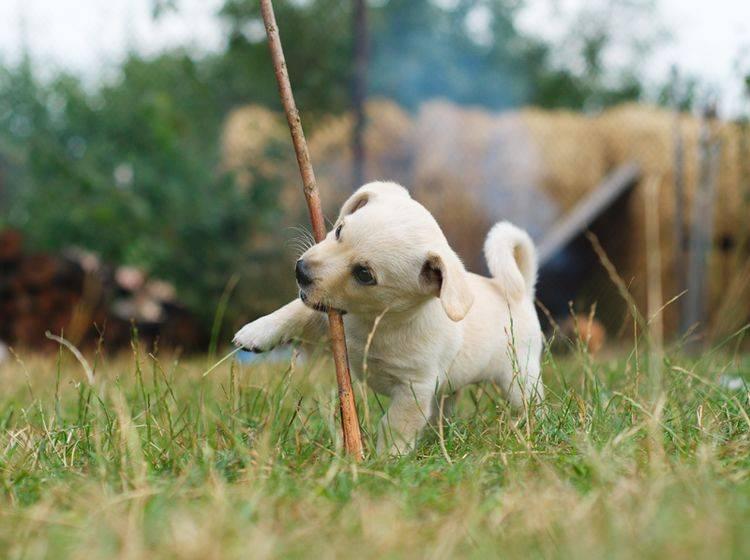 Die Niedlichkeit eines tapsigen Hundewelpen kann dazu führen, dass die Erziehung vernachlässigt wird – Shutterstock / Zaiets Nelia