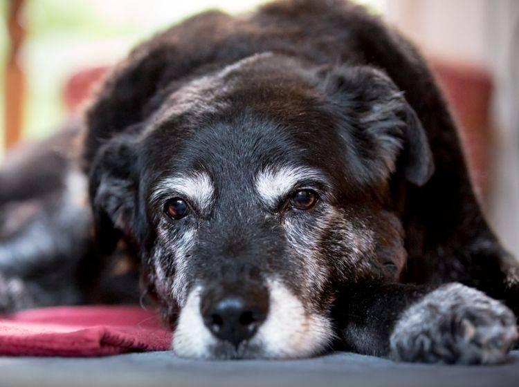 Auch ein älterer Hund sollte schlank bleiben und ausreichend Bewegung haben – Shutterstock / Alex Mladek