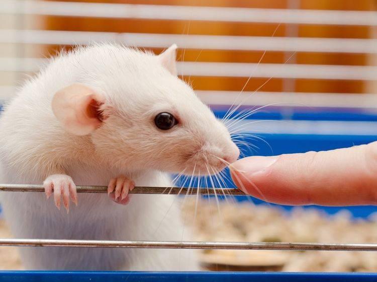Tumore treten oft bei Ratten auf und sollten schnellstmöglich behandelt werden – Shutterstock / Kirill Kurashov
