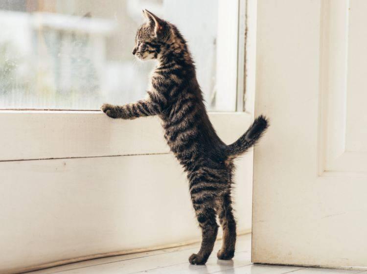 Katzen, die am Fenster kratzen, sind kaum zu überhören – Shutterstock / Ysbrand Cosijn