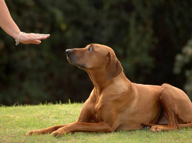 Hunde brauchen eindeutige Kommandos, damit sie gehorchen – Shutterstock / Anke van Wyk
