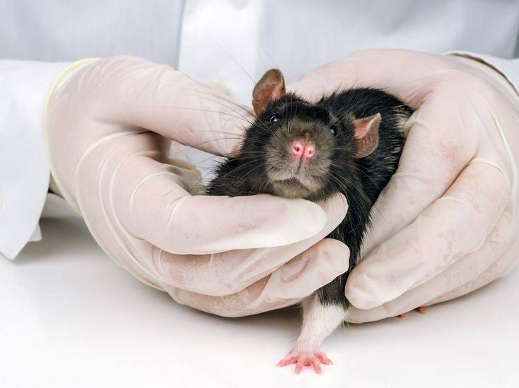 Der Tierarzt untersucht die süße Farbratte auf Wucherungen und Tumore. Sei tapfer kleiner Drops! – Shutterstock / Roman Pelesh