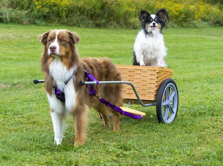 Dieser Australian Shepherd übt mit seinem kleinen Hundekumpel für den Zughundesport – Shutterstock / Lee319