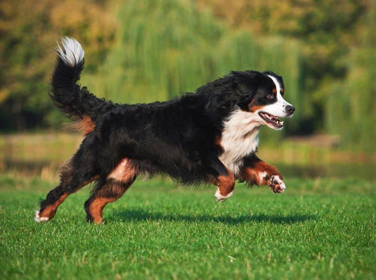 Der Berner Sennenhund liebt es, sich zu bewegen, muss beim Hundesport aber seine Gelenke schonen – Shutterstock / Maria Ivanushkina