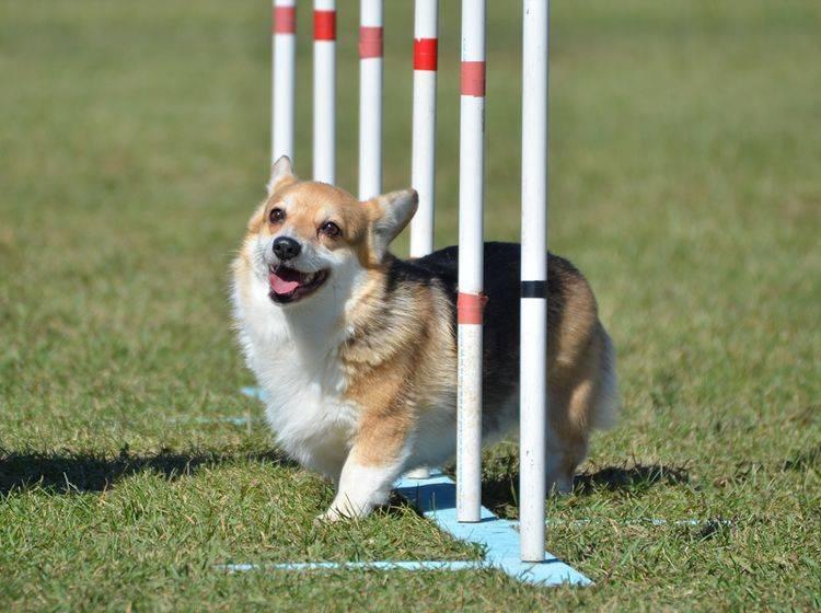 Dieser süße Corgi hat es beim Hundesport Degility überhaupt nicht eilig, aber viel Vergnügen – Shutterstock / Mark Herreid