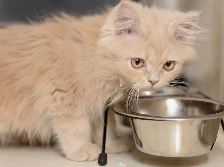 Wenn Katzen hungrig erscheinen und Futter verlangen, obwohl noch etwas im Napf ist, kann das verschiedene Gründe haben – Shutterstock / Inna Astakhova