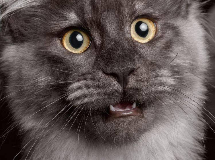"""""""Krächz"""" statt """"Miau""""? Auch Katzen können heiser werden – Shutterstock / Seregraff"""