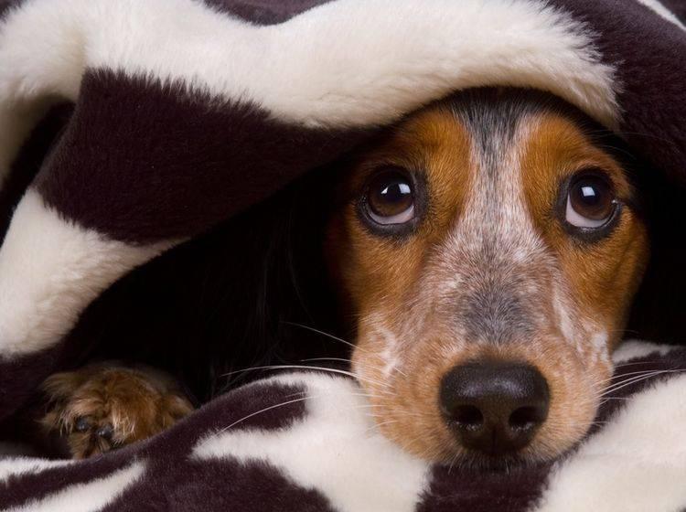 Jeder Hundeführer möchte seinen Liebling vor Erkrankungen bewahren, auch vor einer Kehlkopfentzündung – Shutterstock / Shevs