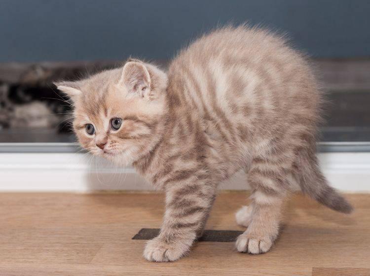 """""""Ouaaah! Ich bin ein großer, furchteinflößender Tiger!"""": Kleine Minimiez versucht, größer zu wirken – Shutterstock / Serhii Moiseiev"""