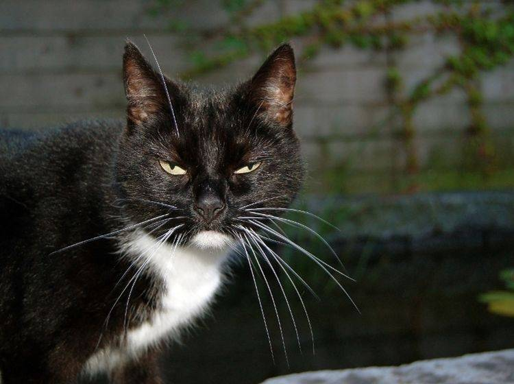 Ruhig, Tiger! Warum denn gleich so genervt? Katzen knurren unter anderem, wenn sie genervt sind – Shutterstock / gabigaasenbeek