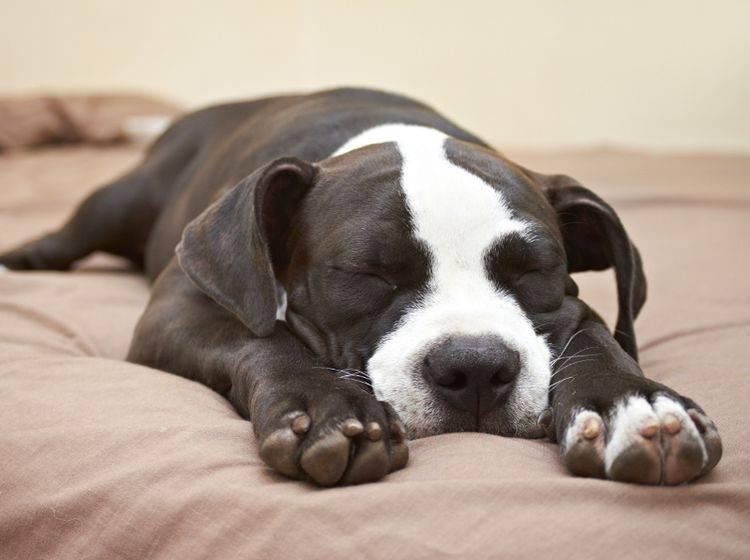 Welpen und kranke oder alte Hunde brauchen besonders viel Schlaf – Shutterstock / dogboxstudio