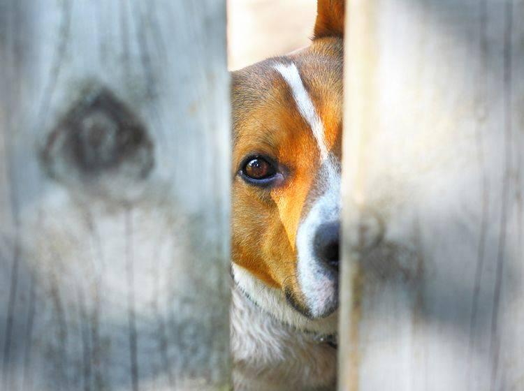 Aversive Trainingsmethoden gelten als sehr umstritten, da sie dem Hund seelisch schaden können – Shutterstock / spillikin