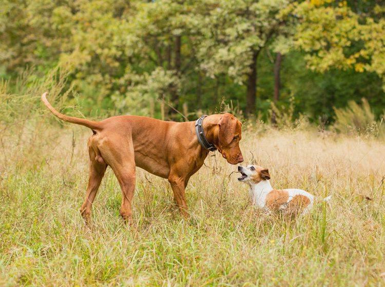 Dieser kleine Jack Russell Terrier scheint dem großen Vizsla-Hund zeigen zu wollen, wo es langgeht – Shutterstock / Fly_dragonfly