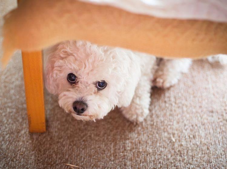 Verhaltensauffälligkeiten beim Hund müssen nicht immer mit Aggression zu tun haben; auch starke Ängstlichkeit gehört dazu – Shutterstock / Alzbeta