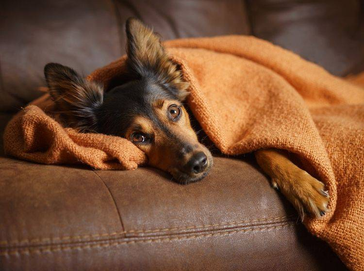 Bei Stress kann Baldrian auch bei Hunden Abhilfe verschaffen – Shutterstock / Lindsay Helms