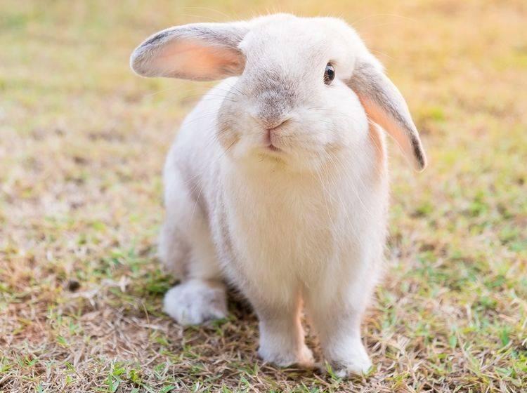 Kaninchen sind keine Nagetiere, aber das macht sie nicht weniger beliebt in deutschen Haushalten! – Shutterstock / Natee Meepian