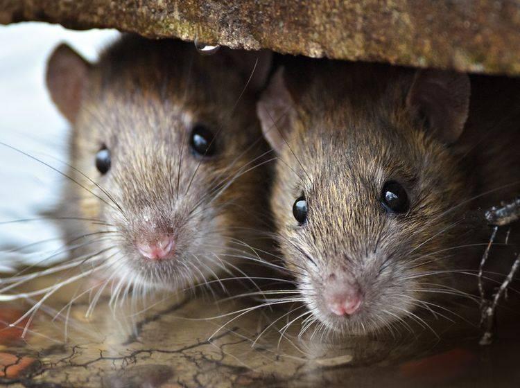 Zwei süße Ratten in ihrem Versteck: Wie schlau die Nager wohl wirklich sind? – Shutterstock / Gallinago media