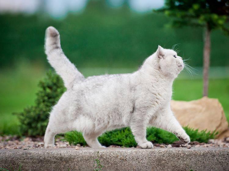 Ist diese Britisch-Kurzhaar-Katze zu dick? Oder ist ihr Hängebauch normal? – Shutterstock / Rita Kochmarjova