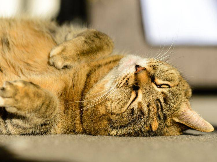 Diese Senior-Katze hat es gern gemütlich und lässt es ruhig angehen – Shutterstock / John E Heintz Jr