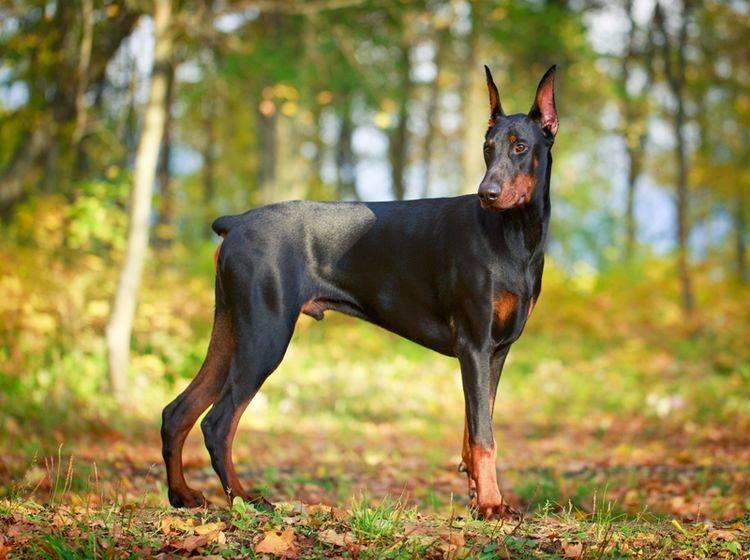 Das Kupieren von Hunden an den Ohren und der Rute war beim Dobermann lange Zeit üblich – Shutterstock / DragoNika