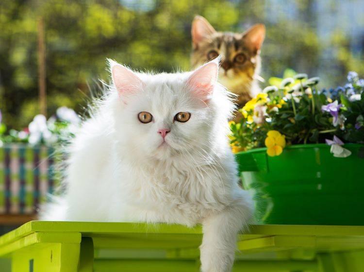 Die beiden Katzen genießen ihren kleinen Ausflug auf den Balkon – Shutterstock / Dora Zett