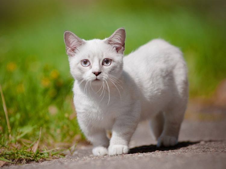 Die Munchkin-Katze hat durch genetisch bedingten Kleinwuchs verkürzte Beine – Shutterstock / otsphoto