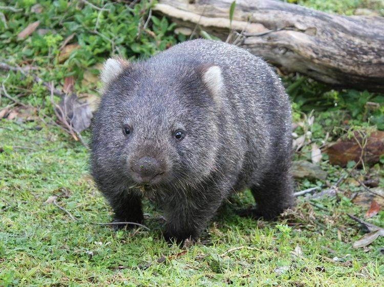 Der würfelförmige Kot der Wombats hat durchaus seinen Sinn für die Tiere – Shutterstock / Robyn Butler