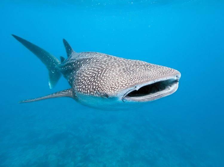 Der Walhai ist der größte noch lebende Fisch, aber ein freundlicher Geselle, der sich vor allem von Plankton ernährt – Shutterstock / Krzysztof Odziomek