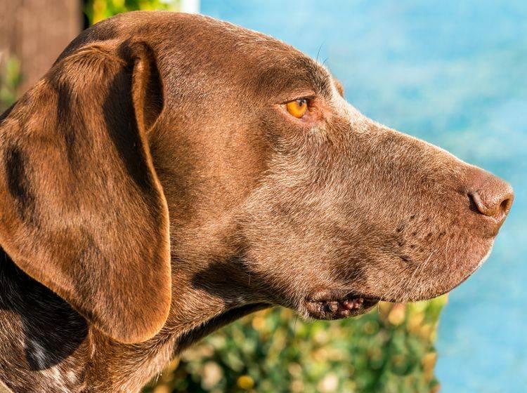 Biotin sorgt unter anderem für schönes, glänzendes Hundefell – Shutterstock / Snova