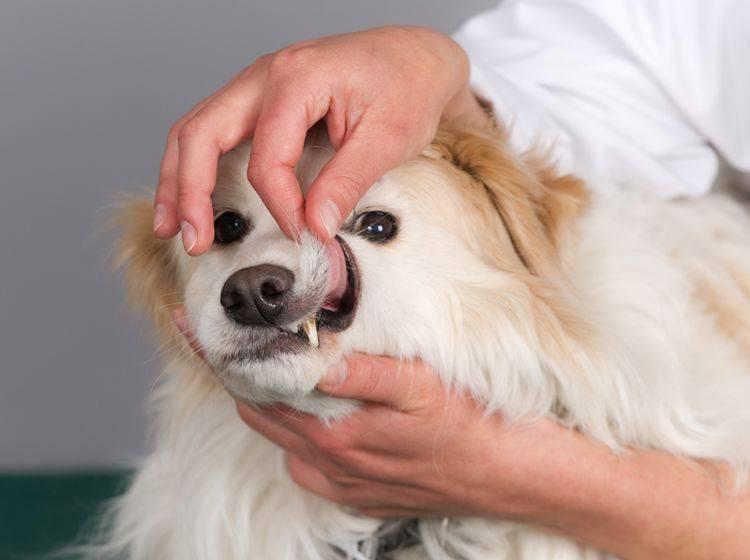 Ihr Tierarzt zeigt Ihnen, wie Sie die Zähne Ihres Hundes pflegen und einer Parodontitis vorbeugen können – Shutterstock / De Jongh Photography