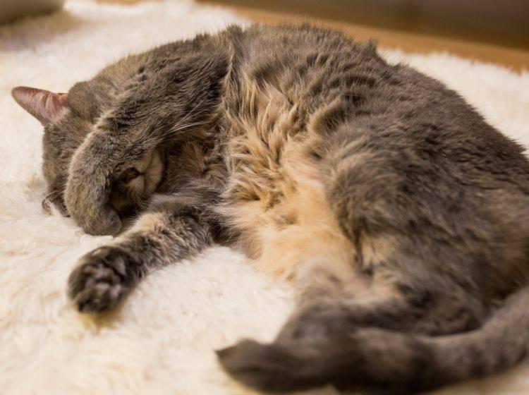 """""""Katzenjammer? Nein, ich mache hier nur ein Nickerchen"""", denkt sich diese Katze – Shutterstock / Anatoliy Tishin"""